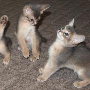Продаются абиссинские (вар) котята