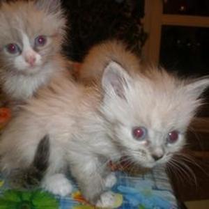 Отдам котят.Помесь тайских и  сибирских пород.
